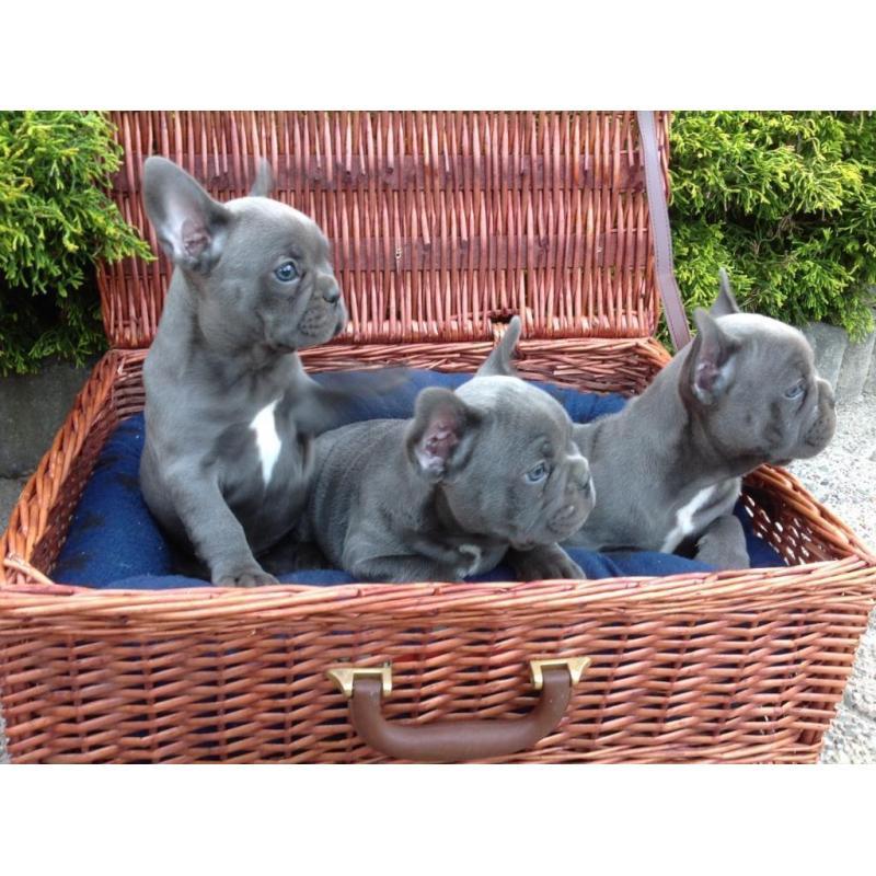 Verwonderlijk Mooie blauwe franse bulldog pups Beschikbaar. IV-52